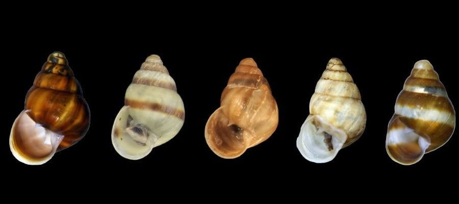 Auriculella gagneorum hawaii land snail